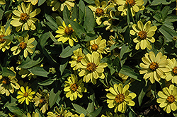 Zahara® Yellow Zinnia (Zinnia 'Zahara Yellow') at Fernwood Garden Center
