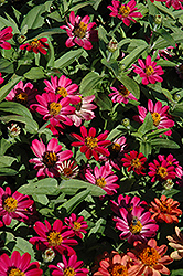 Profusion Cherry Zinnia (Zinnia 'Profusion Cherry') at Fernwood Garden Center