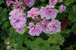 Royal Lavender Ivy Leaf Geranium (Pelargonium peltatum 'Royal Lavender') at Fernwood Garden Center