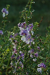 Angelface® Wedgewood Blue Angelonia (Angelonia angustifolia 'Angelface Wedgewood Blue') at Fernwood Garden Center