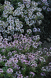 Clear Crystal Lavender Shades Sweet Alyssum (Lobularia maritima 'Clear Crystal Lavender Shades') at Fernwood Garden Center