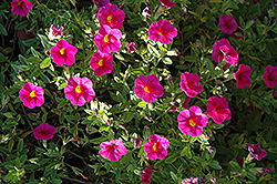 Superbells® Cherry Red Calibrachoa (Calibrachoa 'Superbells Cherry Red') at Fernwood Garden Center