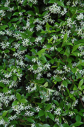 Confederate Star-Jasmine (Trachelospermum jasminoides) at Fernwood Garden Center