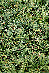 Dwarf Mondo Grass (Ophiopogon japonicus 'Nanus') at Fernwood Garden Center