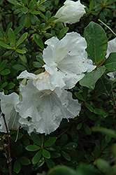 Gumpo White Azalea (Rhododendron 'Gumpo White') at Fernwood Garden Center
