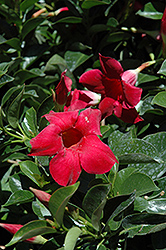 Red Mandevilla (Mandevilla 'Red') at Fernwood Garden Center