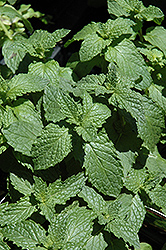 Mojito Mint (Mentha x villosa 'Mojito') at Fernwood Garden Center