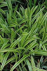 Marc Anthony® Lily Turf (Liriope muscari 'Marant') at Fernwood Garden Center