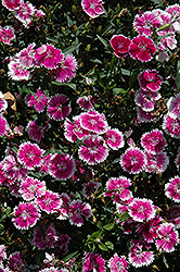 Telstar Purple Picotee Pinks (Dianthus 'Telstar Purple Picotee') at Fernwood Garden Center