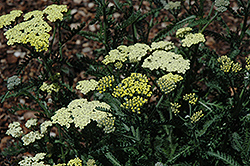 Moon Dust Yarrow (Achillea 'Novaachdus') at Fernwood Garden Center