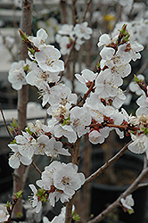 Moongold Apricot (Prunus 'Moongold') at Fernwood Garden Center