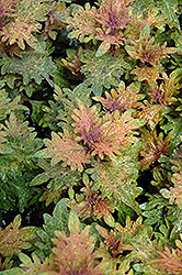 Limon Blush Coleus (Solenostemon scutellarioides 'Limon Blush') at Fernwood Garden Center