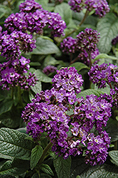Marino Blue Heliotrope (Heliotropium arborescens 'Marino Blue') at Fernwood Garden Center
