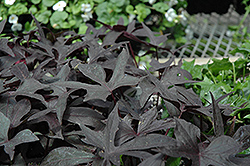 Blackie Sweet Potato Vine (Ipomoea batatas 'Blackie') at Fernwood Garden Center