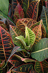 Variegated Croton (Codiaeum variegatum 'var. pictum') at Fernwood Garden Center