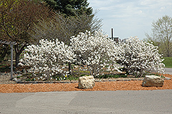 Royal Star Magnolia (Magnolia stellata 'Royal Star') at Fernwood Garden Center