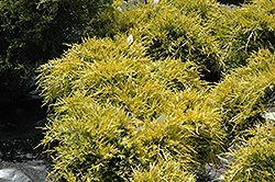 Sea Of Gold Juniper (Juniperus x media 'Sea Of Gold') at Fernwood Garden Center