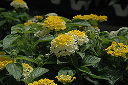 Bandana® Lemon Zest Lantana (Lantana camara 'Bandana Lemon Zest') at Fernwood Garden Center