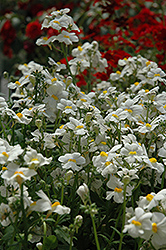 Sunsatia Coconut Nemesia (Nemesia 'Sunsatia Coconut') at Fernwood Garden Center