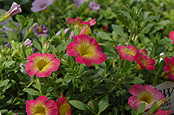 Superbells® Sweet Tart Calibrachoa (Calibrachoa 'Superbells Sweet Tart') at Fernwood Garden Center