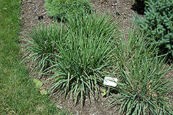Purple Lovegrass (Eragrostis spectabilis) at Fernwood Garden Center