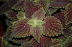 Abbey Road Coleus (Solenostemon scutellarioides 'Abbey Road') at Fernwood Garden Center