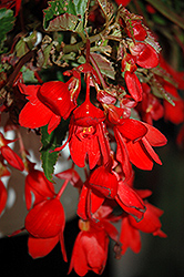 Waterfall® Encanto Falls® Red Begonia (Begonia boliviensis 'Waterfall Encanto Falls Red') at Fernwood Garden Center