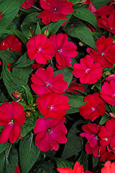 SunPatiens® Compact Royal Magenta New Guinea Impatiens (Impatiens 'SunPatiens Compact Royal Magenta') at Fernwood Garden Center