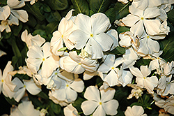Cora® White Vinca (Catharanthus roseus 'Cora White') at Fernwood Garden Center