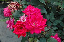 Red Double Knock Out Rose (Rosa 'Red Double Knock Out') at Fernwood Garden Center