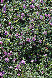 Purple Trailing Lantana (Lantana sellowiana) at Fernwood Garden Center