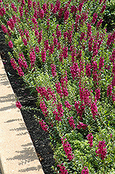 Archangel™ Raspberry Angelonia (Angelonia angustifolia 'Archangel Raspberry') at Fernwood Garden Center