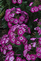 Purple Eye Flame Garden Phlox (Phlox paniculata 'Barthirtythree') at Fernwood Garden Center