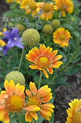 Mesa Peach Blanket Flower (Gaillardia x grandiflora 'Mesa Peach') at Fernwood Garden Center