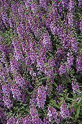 Serenita Blue Angelonia (Angelonia angustifolia 'Serenita Blue') at Fernwood Garden Center