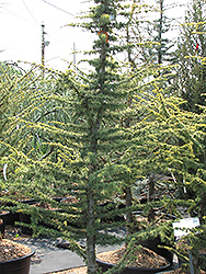 Golden Atlas Cedar (Cedrus atlantica 'Aurea') at Fernwood Garden Center