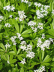 Sweet Woodruff (Galium odoratum) at Fernwood Garden Center