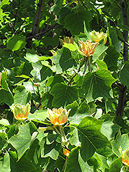 Tuliptree (Liriodendron tulipifera) at Fernwood Garden Center