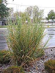 Porcupine Grass (Miscanthus sinensis 'Strictus') at Fernwood Garden Center