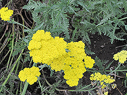Cloth of Gold Fernleaf Yarrow (Achillea filipendulina 'Cloth of Gold') at Fernwood Garden Center
