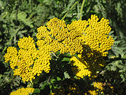 Coronation Gold Yarrow (Achillea 'Coronation Gold') at Fernwood Garden Center