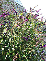 Black Knight Butterfly Bush (Buddleia davidii 'Black Knight') at Fernwood Garden Center