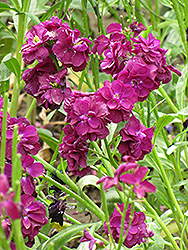 Stock (Matthiola incana) at Fernwood Garden Center