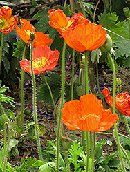 Iceland Poppy (Papaver nudicaule) at Fernwood Garden Center