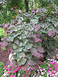Forest Pansy Redbud (Cercis canadensis 'Forest Pansy') at Fernwood Garden Center