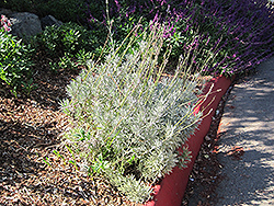 French Lavender (Lavandula dentata) at Fernwood Garden Center