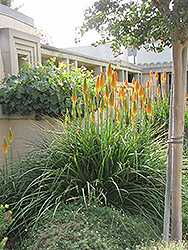 Torchlily (Kniphofia natalensis) at Fernwood Garden Center