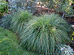 Moudry Fountain Grass (Pennisetum alopecuroides 'Moudry') at Fernwood Garden Center