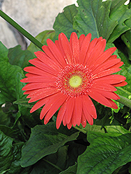 Jaguar Deep Orange Gerbera Daisy (Gerbera 'Jaguar Deep Orange') at Fernwood Garden Center