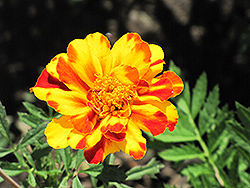 Safari Bolero Marigold (Tagetes patula 'Safari Bolero') at Fernwood Garden Center